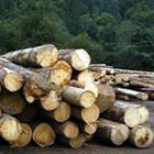 В Житомирской области незаконно вырубили акации