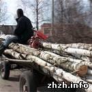 Криминал: На Житомирщине местные селяне уничтожают деревья ради березовых почек