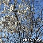 Наука: Аномальное явление: перед самой зимой в Бердичеве рацвел тополь. ФОТО