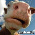 Происшествия: В Житомирской области корова стала причиной двух ДТП