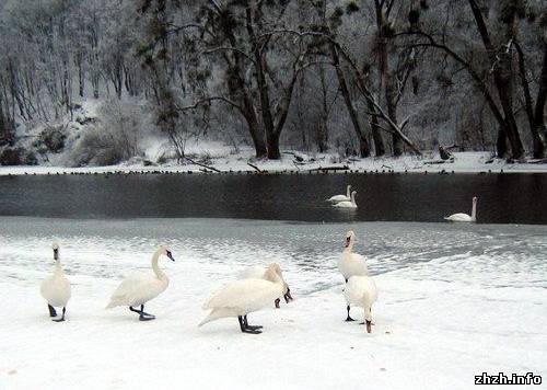 В Житомире на Тетереве зимуют лебеди прилетевшие из Латвии.