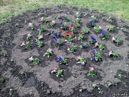 Когда сажать петунии весной в открытый грунт 27