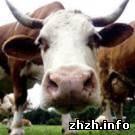 Экономика: В Житомирской области выросло поголовье крупного рогатого скота