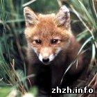Охотники Житомирщины готовятся к истреблению красных лисиц. ФОТО