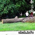 Житомир: В сквере в центре Житомира срезали огромные деревья. ФОТО
