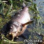 Происшествия: Гибель рыбы в Радомышле. Новые подробности. ФОТО. ВИДЕО