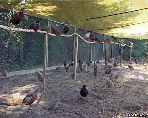 Разведение в домашних условиях фазанов