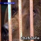 Охотники намерены судиться за малинского медведя. ВИДЕО