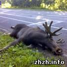 Происшествия: ДТП под Житомиром. Водитель Жигули сбил выбежавшего на дорогу лося