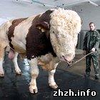 Общество: Журналисты отыскали самого большого быка в Украине. ФОТО
