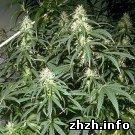 Криминал: В Житомирской области пенсионер выращивал 6-метровую коноплю