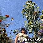 Общество: Жительница Житомира вырастила гигантский подсолнух пять метров высотой. ФОТО