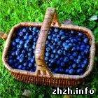 Экономика: Жители Житомирщины ходят за ягодами за границу