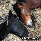 Криминал: В Житомире задержана банда которая воровала лошадей и продавала конину. ФОТО